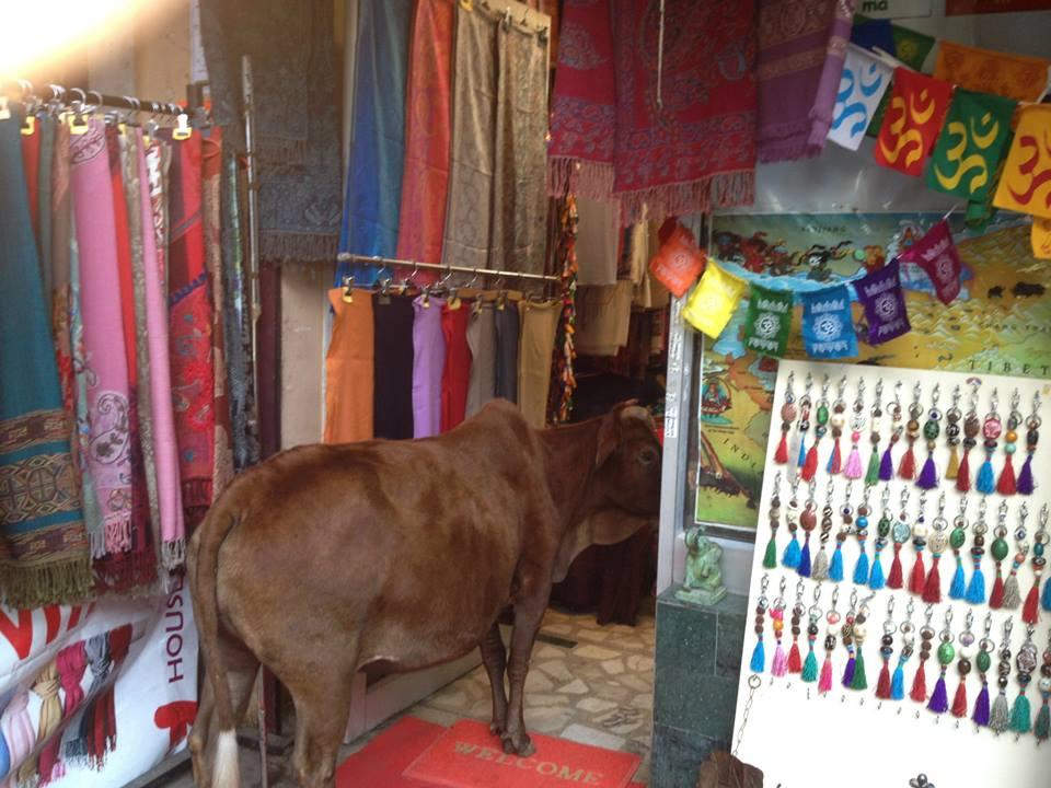 Cow shopping
