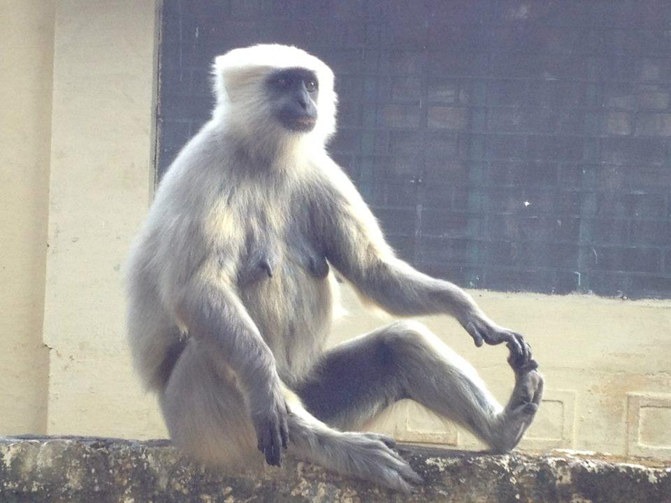 Monkey doing yoga