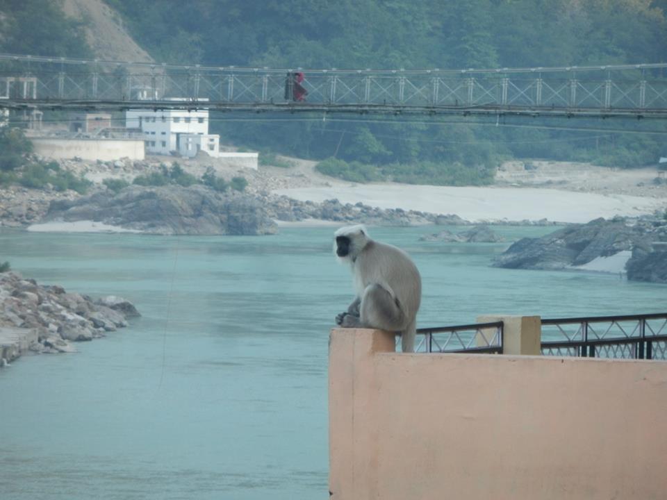 Monkey looking ganga river